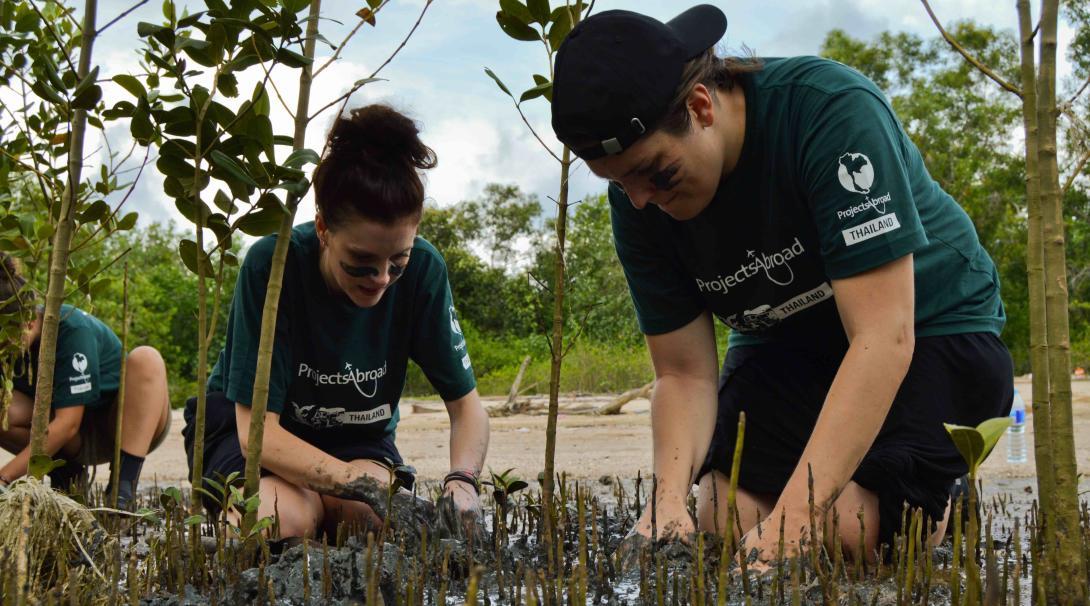 Voluntarios trasplantando manglares en Tailandia.